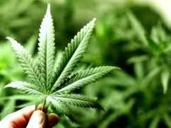 Marijuana legale in Italia: il dibattito è aperto